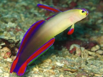 Purple fire goby technical diving thailand kon-tiki koh lanta