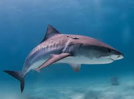 Shark Andaman Sea