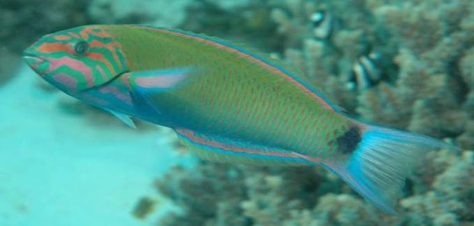 Moon wrasse diving snorkeling thailand
