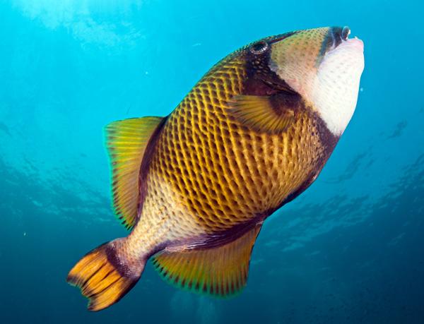 Triggerfish snorkeling at the Bida Islands Phi Phi Islands