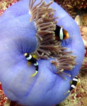 Clarks anemone fish weird creature