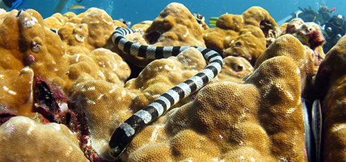banded sea krait diving thailand kon-tiki