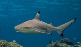 blacktip reef shark diving maya krabi ao nang