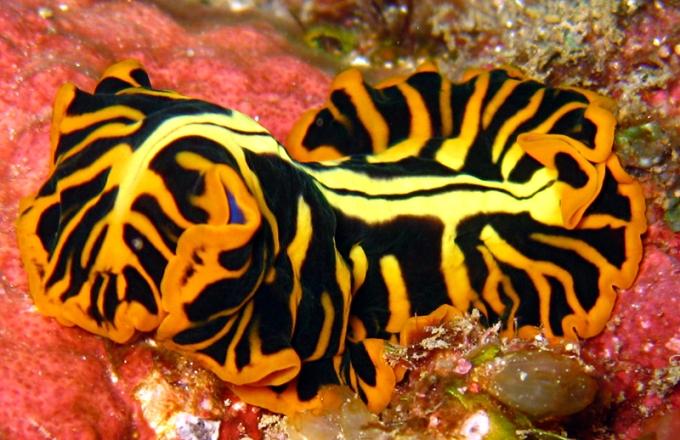 Flatworm diving thailand kon-tiki krabi ao nang
