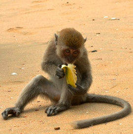 Monkey at ao nang beach diving thailand